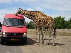 Dierentuin met korting - beekse Bergen Girafffen