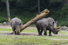 Dierentuin met korting - Burgers Zoo Neushoorn 1