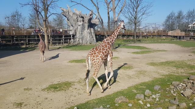 Dagje uit - Blijdorp Giraffen 2